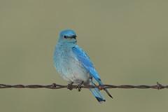 Mountain Bluebird (Hammerchewer) Tags: mountainbluebird bird male wildlife outdoor montana