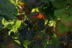 In Vienna's Vineyards (Wolfgang Bazer) Tags: vineyard weinberg viticulture weinbau vine wine grapes weintrauben sievering obersievering salmannsdorf neustift am wald zierleitengasse wien vienna österreich austria