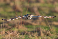 Sumpfohreule / asio flammeus (eric-d at gmx.net) Tags: shortearedowl owl eule strigidae sumpfohreule asioflammeus