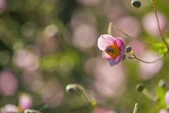 Summer light ... (milance1965) Tags: anemone herbst sommer summer light colors farbe licht nikon d700 nikon105mm macro pink binne bee