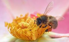 "honey bee on Rose ""Garvey"" (conall..) Tags: closeup raynox dcr250 macro botanic park belfast southbelfast northernireland bee honeybee apis mellifera apismellifera pollination flower pollen load pollenload colour orangeyellow"