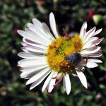 Seed beetle on a tiny daisy thumbnail