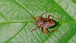 Forest bug or Red-legged Shieldbug  ( Pentatoma rufipes)