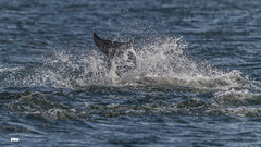 Something to splash about (davidrhall1234) Tags: bottlenosedolphintursiops dolphin chanonrypoint scotland mammal marine cetacean splash coastal coast conservation dive nikon nature outdoors shore shoreline sea wildlife world