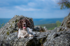 On the rock (Flemming Andersen) Tags: stone zigzag spaniel pet nature dog outdoor cocker hund roc la tour animal roclatour thilay grandest france fr