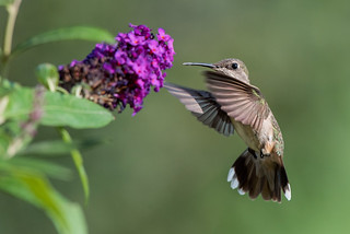 Young hummingbird at butterfly bush