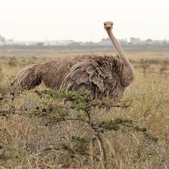 Female (Nagarjun) Tags: ostrich bigbird wildlife avifauna nairobinationalpark kenya eastafrica savannah safari