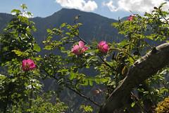 Rosa pendulina (aniko e) Tags: rosaceae rosa rosapendulina alpinerose havasaljirózsa alpenrose rose flwoer shrub seeberg plant flower pink bayrischzell germany bavaria bavarianprealps bayern bayerischevoralpen