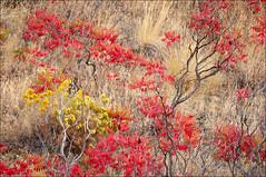 Fall Color in the High Desert (Greg Vaughn) Tags: sumac rabbitbrush autumn deschutesriver centraloregon fallcolor pacificnorthwest usa us america american west western northwestern nature natural dry highdesert travel detail scenic gregvaughn gv0709117