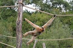 Gibbon à favoris blancs_TIA NANG (Passion Animaux & Photos) Tags: primate gibbon favoris roux yellowcheeked crestedgibbon nomascus gabriellae parc animalier saintecroix france