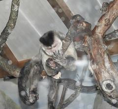 5 doigts ? Oui je les ai ! 5 fingers ? Yesss I have ! Capucin Apella (Sapajus apella) (Annelise LE BIAN) Tags: animaux capucinapella servion singes suisse vaud explore alittlebeauty coth coth5