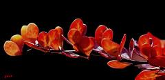 Zierpflanze Berberitze... (peterphot) Tags: makros sony tamron60 natur herbst autumn berberitze zierpflanze