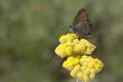 Satyrium esculi (Hübner, 1804) (ajmtster) Tags: macro invertebrados florasilvestre flores mariposas lepidopteros licenidos lycaenidae satyriumesculi esculi butterfly butterflies helichrysymstoechas