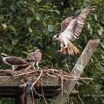 Osprey Landing With Fish thumbnail