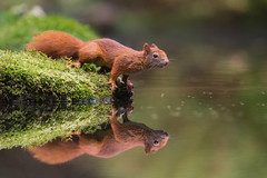 'The Watcher' (dickvduijn) Tags: squirrel redsquirrel reflection nature wildlife animal