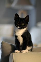 _DSC9716 (Raphistole) Tags: cat chat chaton kitty black white d7000 50mm f14 nikon nikkor