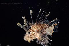 Lionfish (Juanjo Gomez) Tags: lionfish peces pez redsea mar underwater undersea pterois