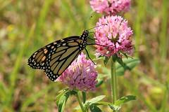 2018 Monarch Butterfly 040 - Danaus Plexippus (Chrisser) Tags: insects insect butterflies butterfly monarch danausplexippus nature ontario canada canoneosrebelt6i canonef75300mmf456iiiusmlens nymphalidae