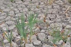 Trockenheit (German Circle) Tags: trockenheit dürre klima wassermangel dryness drought aridity aridness crispness watershortage ausgetrocknet driedup dehydrated parched shriveled ausgedörrt arid ossified torrid erde boden