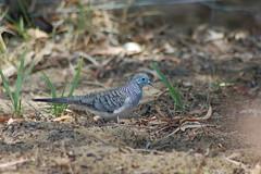 pigeons doves-04 (Captain Hadoc) Tags: bird birds australia wild wildlife farm pigeonsdoves pigeons