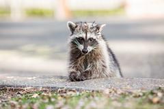 Rocky Raccoon (Thomas Hawk) Tags: america animal bayarea california eastbay piedmont racoon sfbayarea us usa unitedstates unitedstatesofamerica westcoast raccoon fav10 fav25 fav50