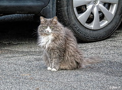Fluffy (Jean S..) Tags: grey white dryer fluffy car street mainecoon cat animal