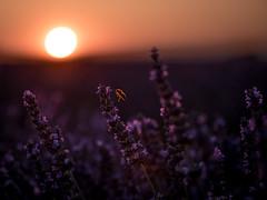 The solar bee (Arnø N°XX) Tags: abeille coucher de soleil halo auréole provence lavande lavander paca france