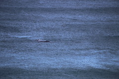 IMG_3569 (gervo1865_2 - LJ Gervasoni) Tags: surfing with whales lady bay warrnambool victoria 2017 ocean sea water waves coast coastal marine wildlife sealife blue photographerljgervasoni