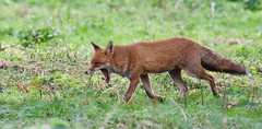 """Satisfied...."" Fox (M) (5 of 5) - Taken at Royal Greenwich Park, London. UK (Ian J Hicks) Tags:"