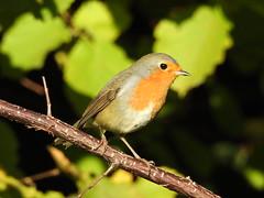 Robin (Erithacus rubecula) (eerokiuru) Tags: robin erithacusrubecula rotkelchen punarind bird p900 nikoncoolpixp900