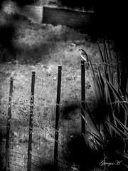 IMG_6248 (Giorgos H) Tags: bird bw blackandwhite sparrow contrast leaf wire hiding
