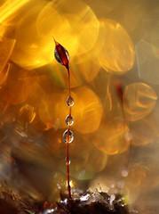 Porteuse de bonnes nouvelles.... (Callie-02) Tags: hot chaud scintillement reflets réflexion nature macrographie enflammé chaleur couleurs bokeh profondeurdechamp canon été lumière jardin extérieur contraste mousse plante germe feu perles rosée eaux gouttes drops