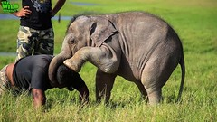 Adorable Baby Elephant playing around with Wildlife officers (THE WILD ELEPHANT) Tags: huge elephant rescue video youtube quite baby funny kids videos the wild wildlife news tv