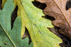 Three of a kind 1 (mqmquilter) Tags: autumnleaves budockwater cornwall d850 falmouth closeups macro oakleaves
