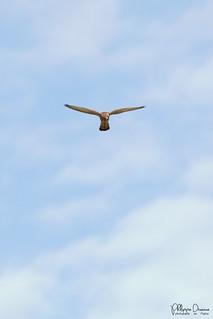 faucon crecerelle-0052_signée