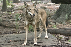 Red wolf (Canis rufus) (ucumari photography) Tags: ucumariphotography nc north carolina zoo august 2018 canisrufus redwolf animal mammal dsc5940 specanimal