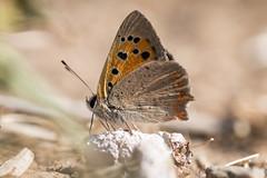 Kleiner Feuerfalter (Marcus Hellwig) Tags: kleinerfeuerfalter schmetterling lycaenaphlaeas falter makro macro mariposa butterfly detail