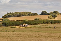 Long Hot Summer of 2018 . (Bob Symes) Tags: cows lewhill oxfordshire drought summer2018