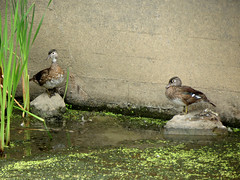 Wood Ducks (treegrow) Tags: washingtondc nature lifeonearth aves birds aixsponsa anatidae