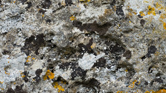 Lichen, King Stone, Rollright Stones (Dave_A_2007) Tags: fungus lichen nature plant rollrightstones warwickshire england