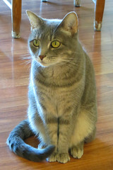 Millie 18 July 2018 0229Ri 4x6 (edgarandron - Busy!) Tags: cat cats kitty kitties tabby tabbies cute feline millie graytabby