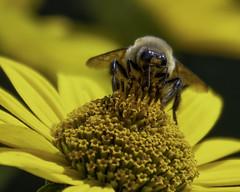 Bee_SAF3651 (sara97) Tags: bee copyright©2018saraannefinke flower flyinginsect insect missouri nature photobysaraannefinke pollinator saintlouis towergrovepark