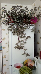 Tradescantia zebrina & T. fluminensis on top of fridge in kitchen 21st August 2018 (D@viD_2.011) Tags: tradescantia zebrina t fluminensis top fridge kitchen 21st august 2018