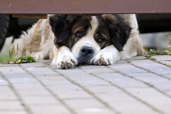 Waiting   Снежинка (alutik) Tags: dog animal pet outdoors summer waiting canon 70d tamronaf70300mmf456 ilovedogs moscowwatchdog