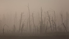 Morgennebel (IIIfbIII) Tags: niebla nebel fog foggy brume dust canonphotography canon anklamerstadtbruch wald trees seeadler adler eagle zen stille birdphotography bird nature naturephotography naturfotografie natur moor landscape landschaft landscapephotography landschaftsfotografie silhouettes silence