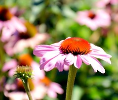 Blessed (barbara_donders) Tags: natuur nature summer zomer echinea bloemen flowers bloemenveld flowerfield pink roze bokeh macro beautiful magical mooi prachtig
