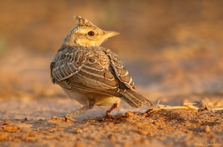 Laverca | Eurasian Skylark (Alauda arvensis)