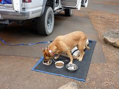 Camp breakfast (simonov) Tags: lassen national park forest car camping bella dog hund chien 狗 σκύλοσ madra cane 犬 perro 개 سگ собака الكلب germansheprador