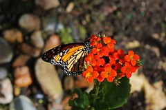 Insignificant Actions (Michiale Schneider) Tags: monarch butterfly insect flower nature orange black michialeschneiderphotography macro