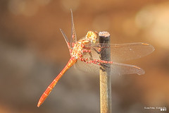Dragonfly..., on a summer day. (Κώστας Καϊσίδης) Tags: dragonfly insect scenery scene summer sunlight nature greece hellas
